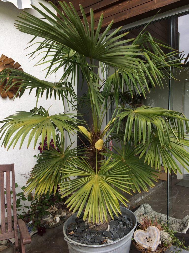 Palme zeigt Blütenansatz