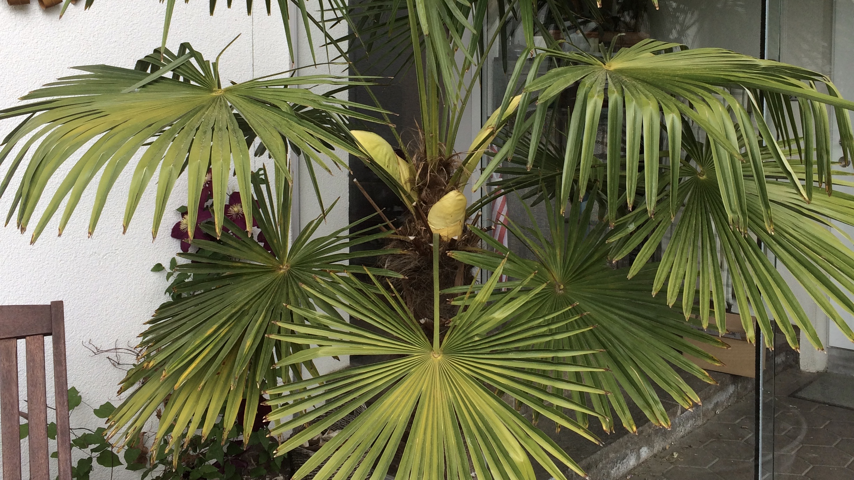 Palme bekommt Blüten