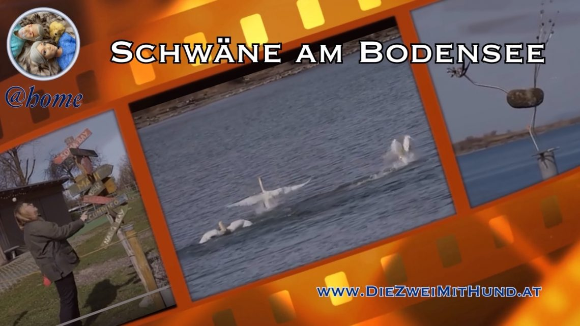 Schwäne am Bodensee